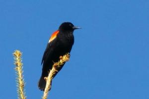 Nonnan RW Blackbird