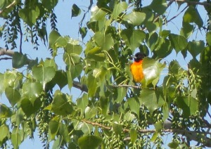 Oriole in Cottonwood