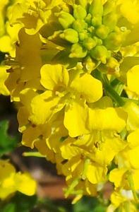 Mustard Hedge