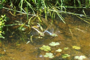 dragonflies 2 mating flight 20150616_142814-1-1