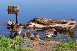Geese family 20150603_094040-2 (4)_s