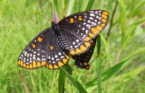 Baltimore Checkerspot Female