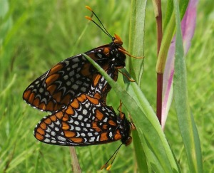 Baltimore Checkerspot Mating