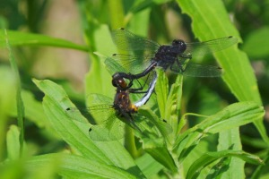 Dragonflies doing their thing