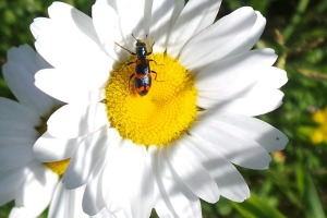 Beetle on a Daisy