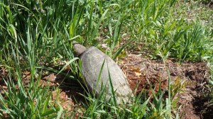 snapping turtle laying eggs beside trail
