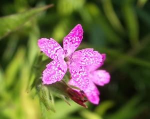 Pink Deptford