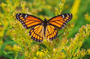This is a Viceroy butterfly, similar to the Monarch
