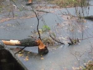 Beaver Still Hard At Work