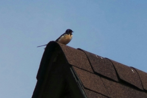 Barn Swallow on the roof of Pearce House