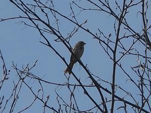 Fe,male Cowbird