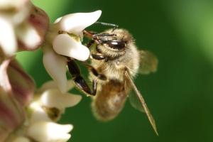 Beare Wetlands bee on Milkweed