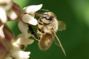 Beare Wetlands bee on Milkweed