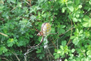 Yellow & Black Garden Spider