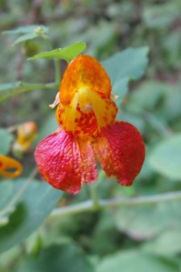 Orange Jewelweed, Touch-me-Not