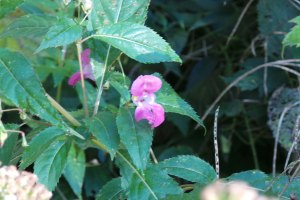 pink Jewlled Himalayan Balsam-Touch-me-Not