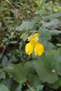 Yellow Jewelweed