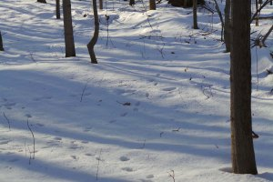 Eastern Coyote Tracks