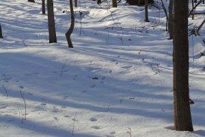 Eastern Coyote Tracks