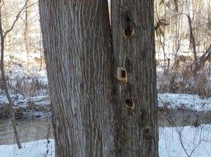 Pileated Woodpecker Buffet