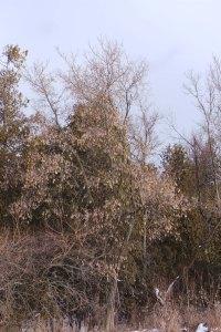 Manitoba maple