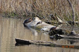 Painted Turtles sunning themselves